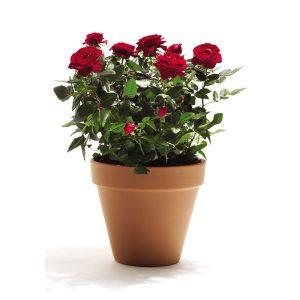 róża doniczkowa